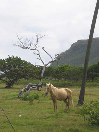 Horses near the Vieux Fort airport
